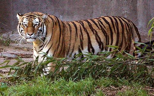 Tatiana Tiger